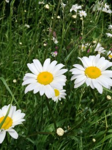 Close up of daisies in the hedgerow